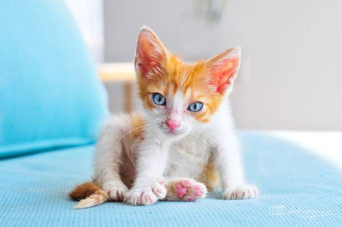 Gorgeous blue eyed baby kitten by vladgphoto - Kittens vs Puppies Photo Contest