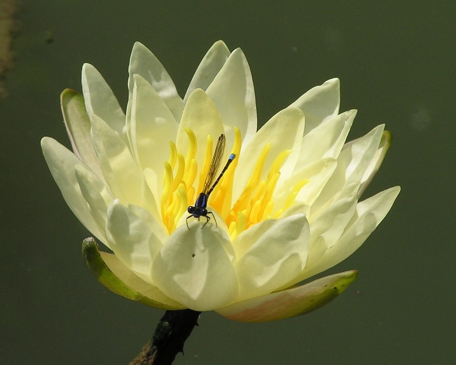I actually waded out to take this photo of hubby's water lily blooming; the fish usually...