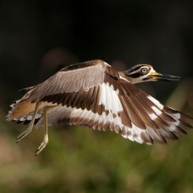 A large wader at about 50–55 cm in height, the Great Stone-curlew or Great Thick-knee (Esacus recurvirostris) is a resident breeder along river...