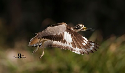 Great Thick Knee