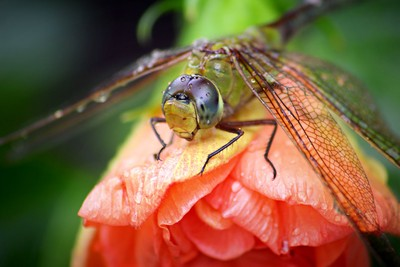 Dragonfly and the Hibiscus