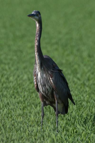 Great Blue Heron_8947