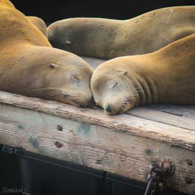 Sea Lion Love