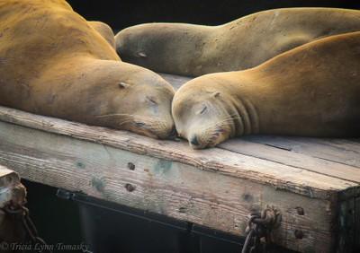 Sea Lion Love