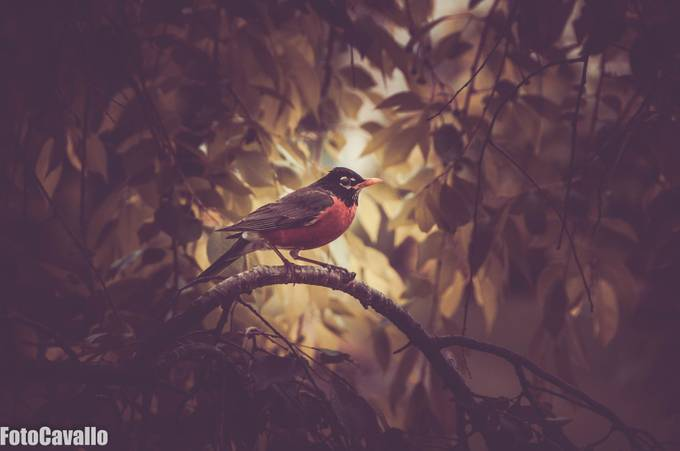 Robin by FotoCavallo - Small Wildlife Photo Contest