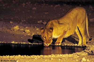 Lioness at Anderson Camp Waterhole