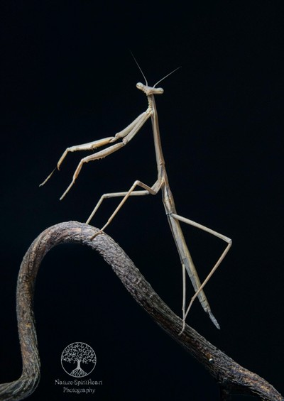 Herbert the Praying Mantis