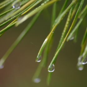 Nice macro shot of some pine needles after the early morning fog.