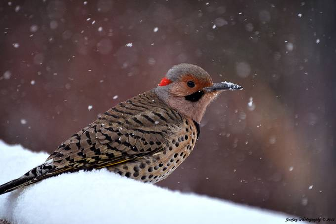 Northern Flicker by PhotosByJEM - Snowflakes Photo Contest