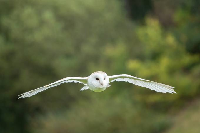Hunting Barn Owl by philowen - Animals And Rule Of Thirds Photo Contest