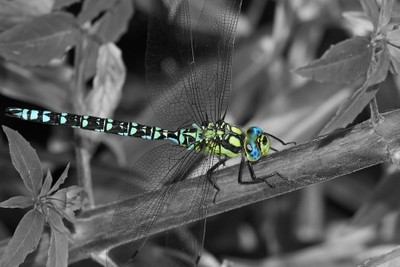 selective dragonfly