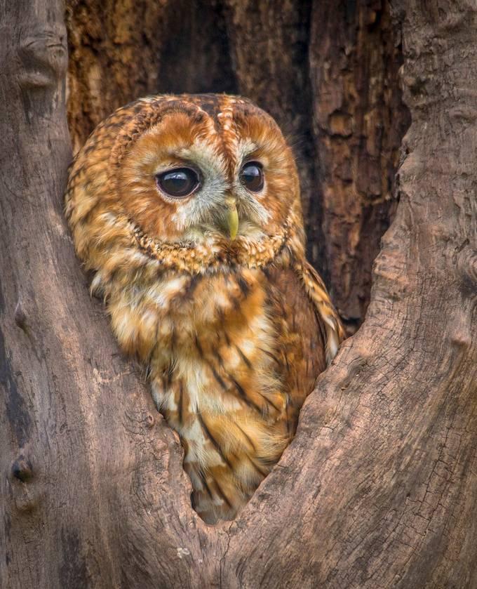 Tawny Owl by marktaylor-flynn - Hiding Photo Contest