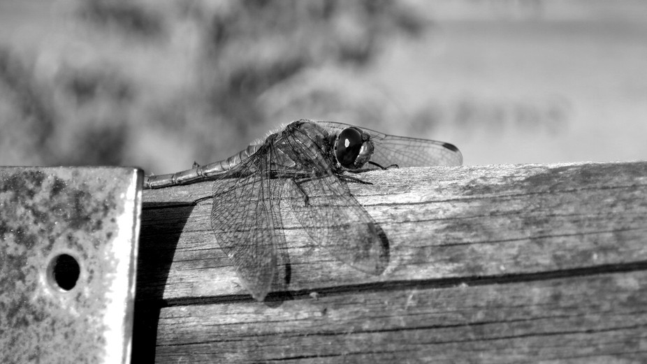 Pretty cool Dragonfly I snapped sunbathing the other day!