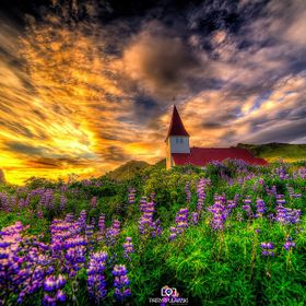 Church at Vik during the golden hour surrounded by lupinus flowers