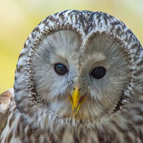 I love the faces on the Ural owl and in this photo he almost looks like he's smiling.