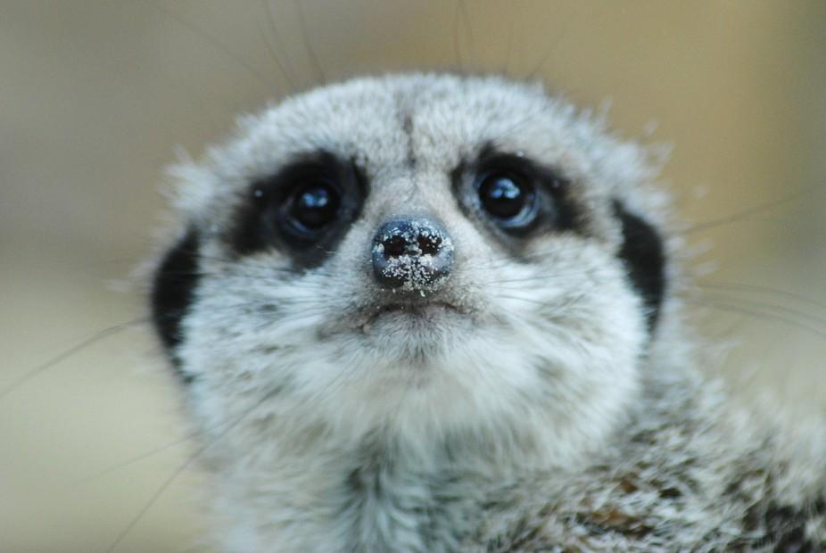A curious Meerkat having a good look at me