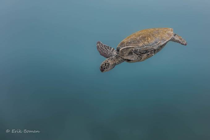 Maui Honu by ErikB - Composing with Negative Space Photo Contest