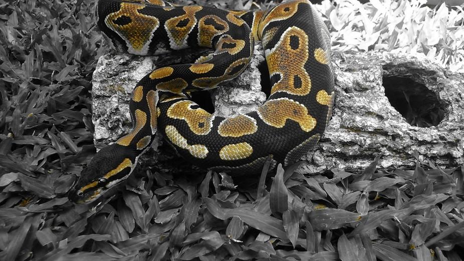 i have a ball python