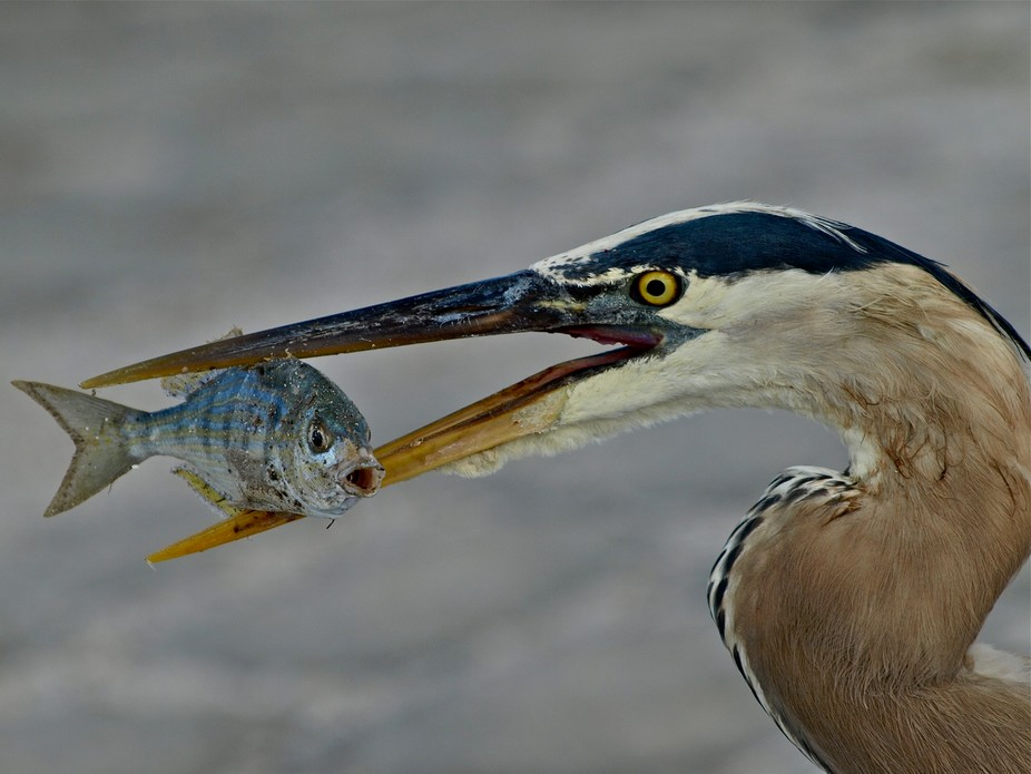 Great Blue Heron Holding a Fish in Mouth