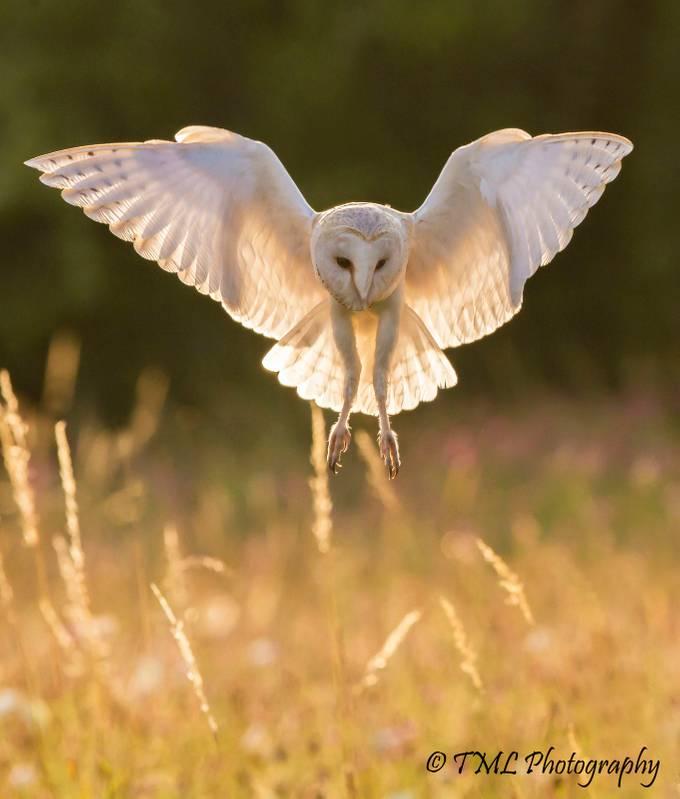 Barn Owl by TML777 - Magical Light Photo Contest