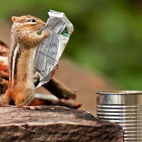 At a paddle-in campsite in Algonquin Provincial Park's backcountry, this chipmunk dug the granola bar wrapper out of the soup can (garbage c...