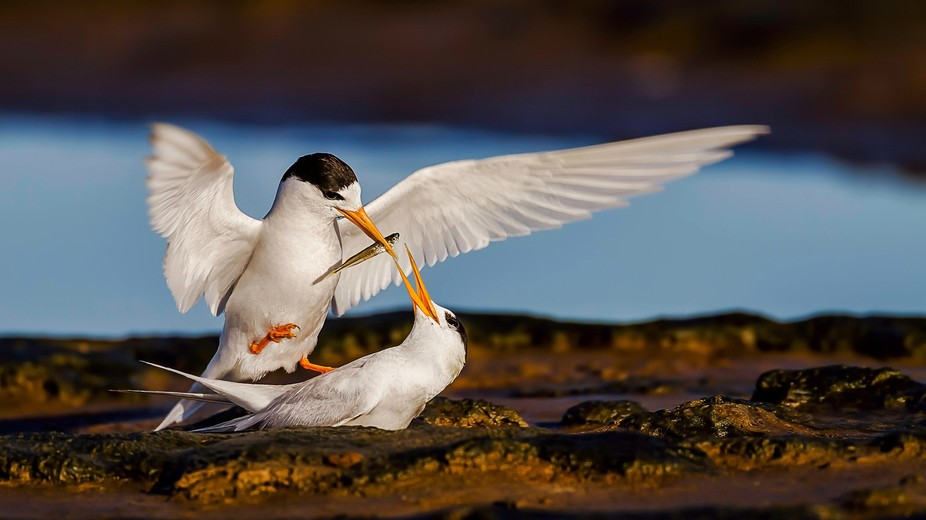 Fairy Terns and a Fish!