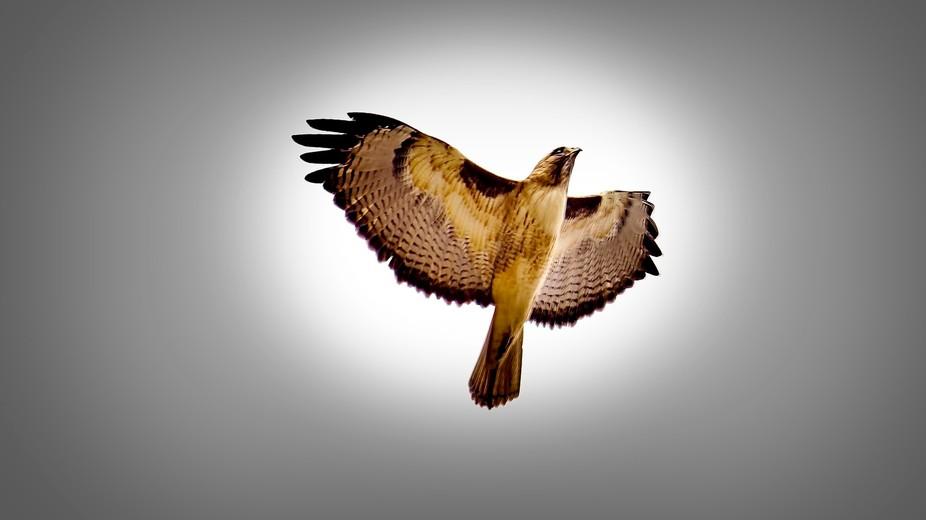 Redtail Hawk #1 (2)