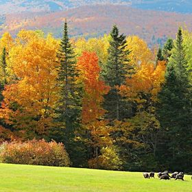 Turkeys in Autumn in Greenville, Maine in the Moosehead Lake area.  Photo taken on October 12, 2014