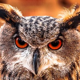 Those eyes are mesmerising, a beautiful Eagle Owl taken at Crich in Derbyshire.