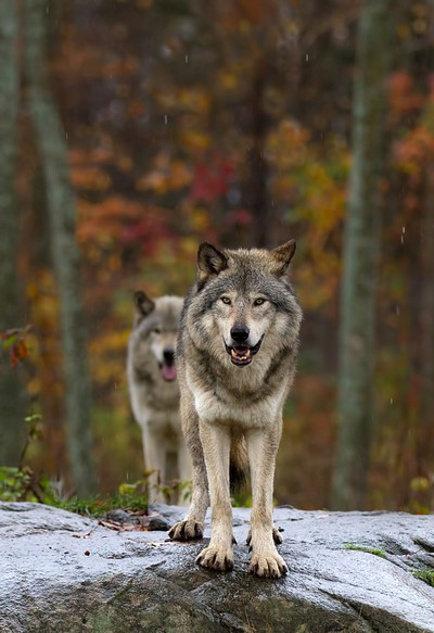 Double Trouble - Timber Wolves