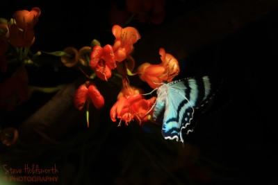 Butterfly Frenzie2