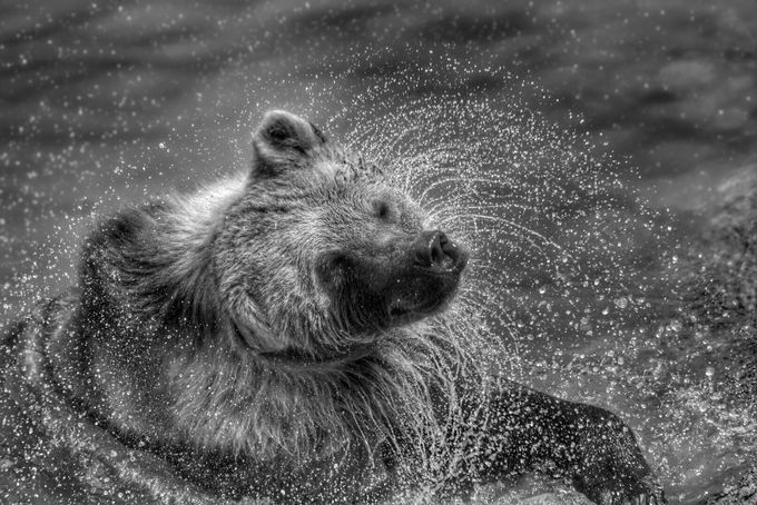 Ursa Emerges (2) by Athena_B - Animals And Water Photo Contest