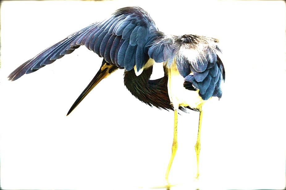 Lesser Blue Heron HDR