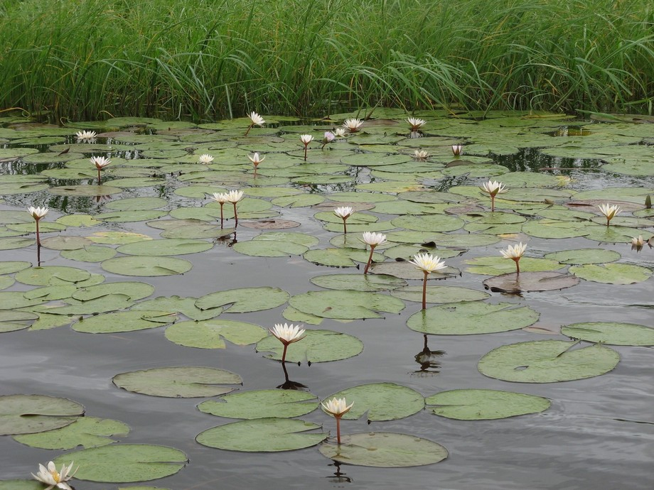 Chobe River Water Lilies