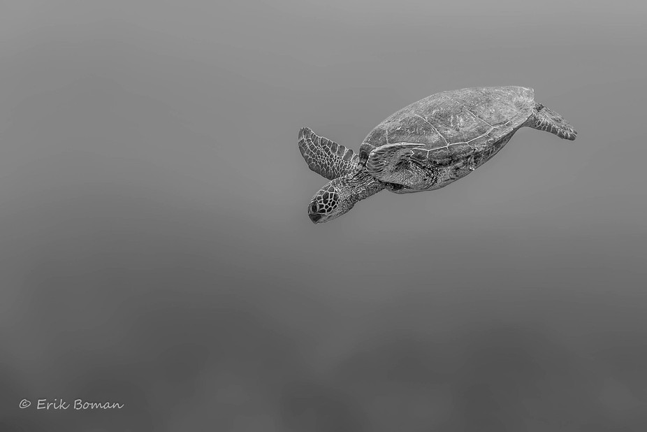 Green Sea Turtle. Photographed near molokini crater at Maui, Hi