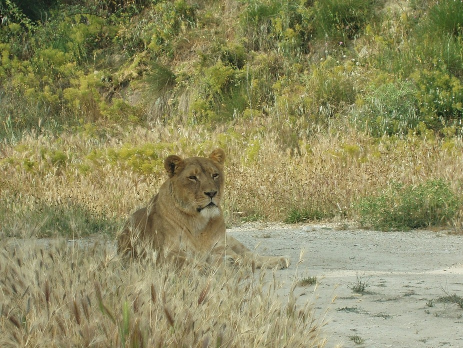 Lioness chilling in the afternoon sun.