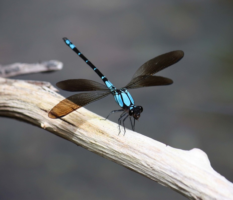 Blue Dragonfly on stick in creek