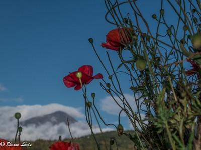 pavot and mountain