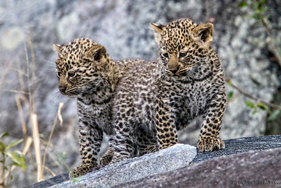 These two cuties belong to the Schotia female. Lion Sands Reserve, Sabi Sands, South Africa