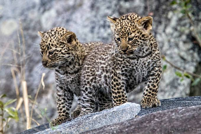 5 week old leopard cubs by mytmoss - Small Wildlife Photo Contest