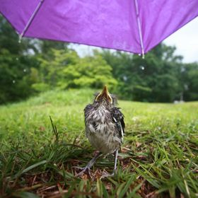 A baby bird looks up at me as I hold an umbrella above it during a storm in southern Alabama