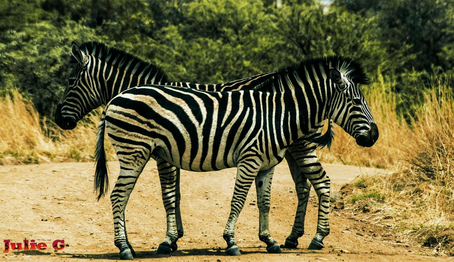This picture is also taken in South-Africa, Pilanesberg. These two zebra\'s placed itself in front...
