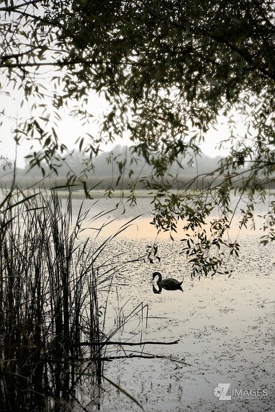 Swan at sunset | Cygne au coucher de soleil