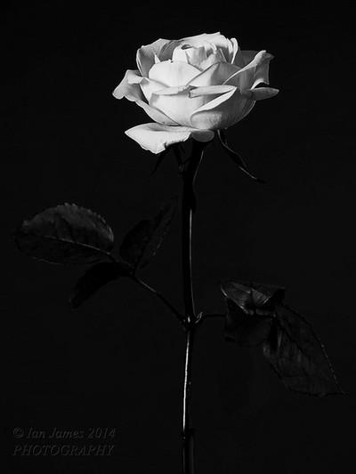 Black & White Rose.