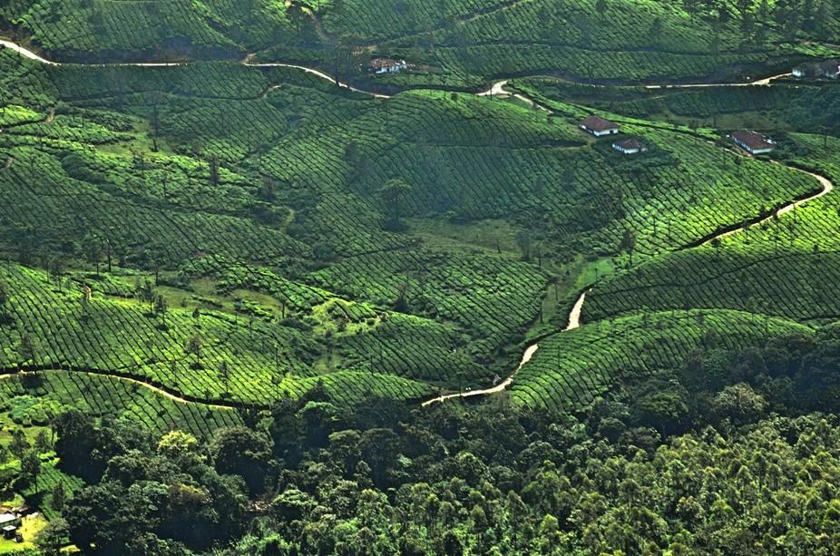 A morning click of tea plantation from Munnar, India