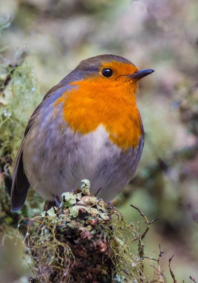 Robin sitting surveying his territory