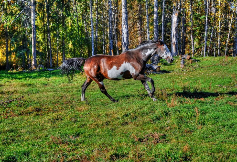 A spirited young Pinto stallion races for the sheer joy of being released into a lush, new pastur...
