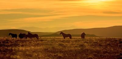 Wyoming Wild Horses