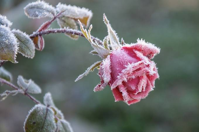 Frost on Rose by VictoriaBullock - Pink Photo Contest