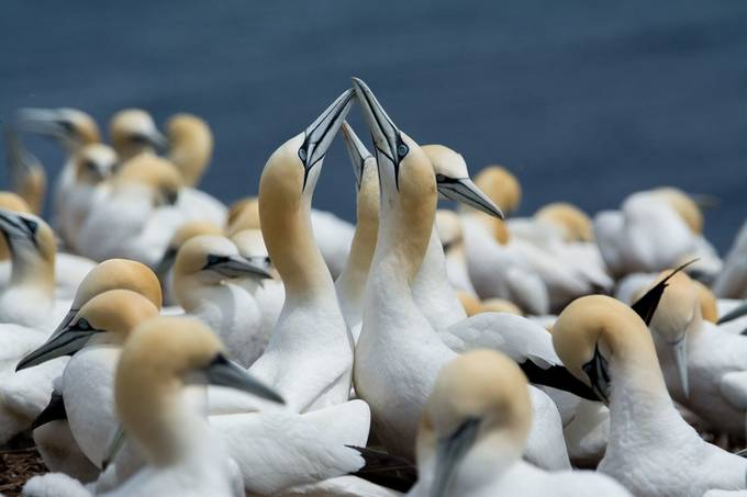 Northern gannets bonding by JohnStager - Disrupting Depth Photo Contest